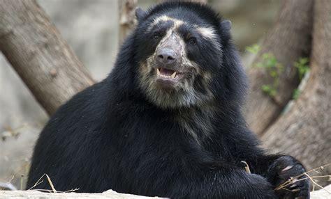 bear andean animals spectacled andes bears zoo national osos ours andinos si son zijn sont andins ils ecuador beren gevaarlijk