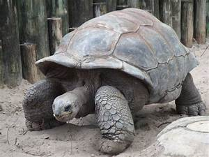 Giant Galapagos Tortoises Threatened By Mosquitoes