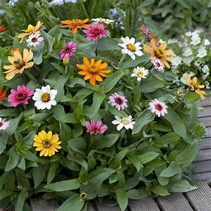 25+ best ideas about Zinnia Elegans on Pinterest | Zinnia ...