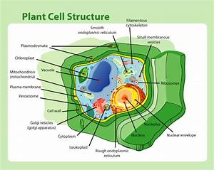Structure Of A Plant Cell  A Visual Guide