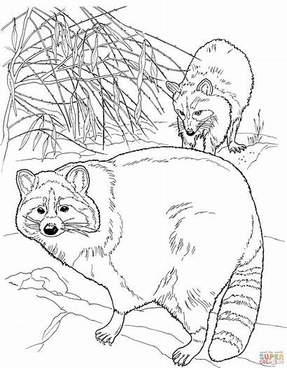 North Coloring American Raccoons Pages Raccoon Printable