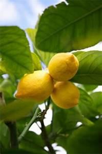 Zitruspflanzen Gelbe Blätter : zitrusb umchen ziehen tipps zu pflege schnitt und berwinterung von orangen oder zitronenb umen ~ Orissabook.com Haus und Dekorationen
