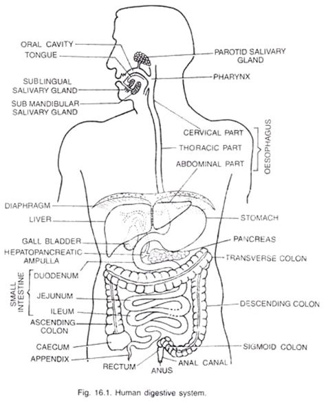 Diagram Of Part Of Human by Parts Of Human Digestive System With Diagram