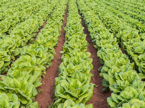 pictures of lettuce growing how do i grow iceberg lettuce with pictures
