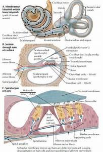 Auditory System Cochlear Receptors