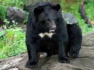 Asiatic Black Bear, Himalayan Black Bear-Endangered ...