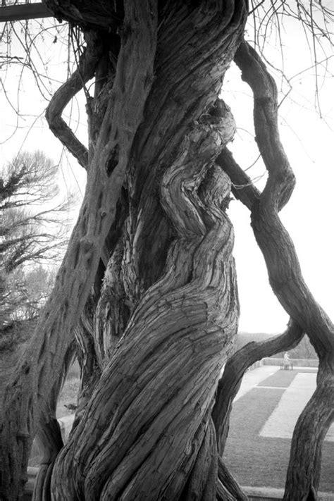 twisted trees photograph  design loft twisted tree