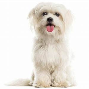 Maltese | Maltese Pet Insurance & Dog Breed Info