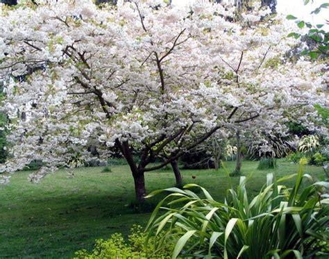 flowering japanese cherry japanese flowering cherry tree landscaping ideas pinterest