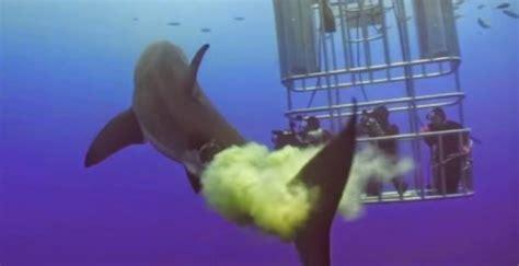 great white shark takes massive poop  swimming