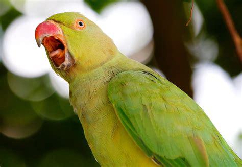 teach  parrot  sing  song