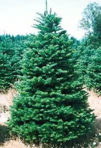 noble fir trees buy wholesale from tree farms