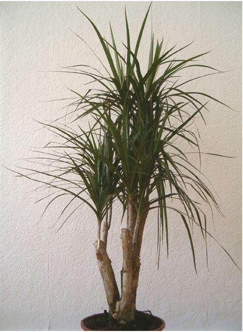 piante ufficio pianta da ufficio tronchetto della felicita vivaio scariot