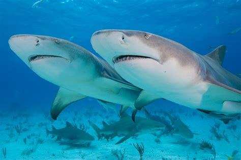 lemon syari lemon shark facts shark facts