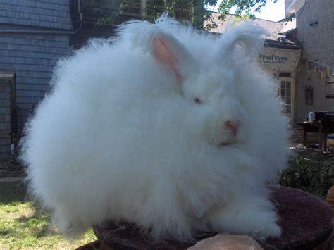 angora rabbit file joey giant angora buck jpg