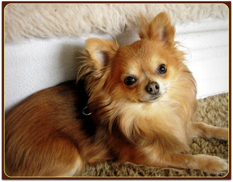 Little Bear The  Ee  Long Ee   Haired  Ee  Chihuahua Ee   Phoenix Wolf