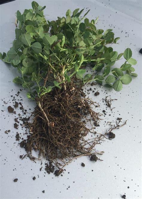 crimson clover bird agronomics ohio