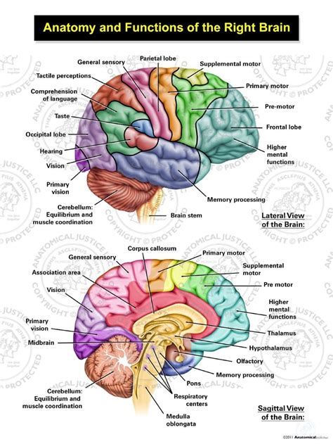 anatomy  functions    brain anatomical justice