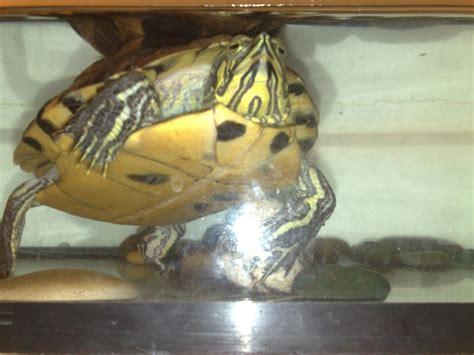 pr 233 sentation de ma tortue tortue d eau douce forum la tortue facile