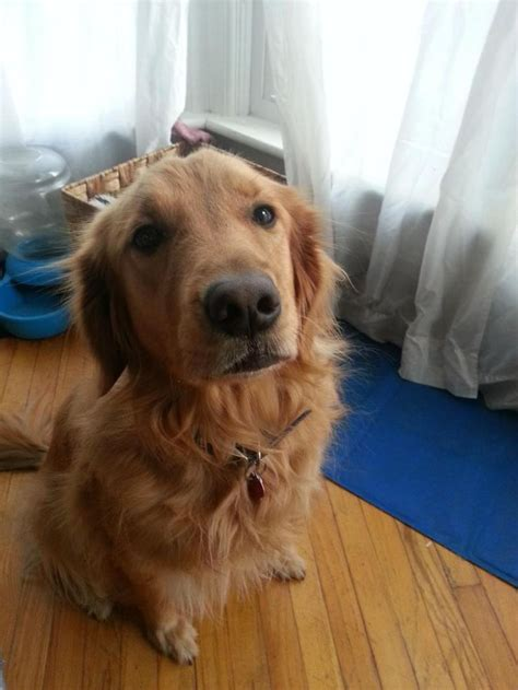 17 Best Images About Adoptable Golden Retrievers On