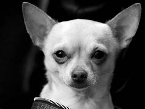 Black And White Chihuahua | Black and Whites | Pinterest ...