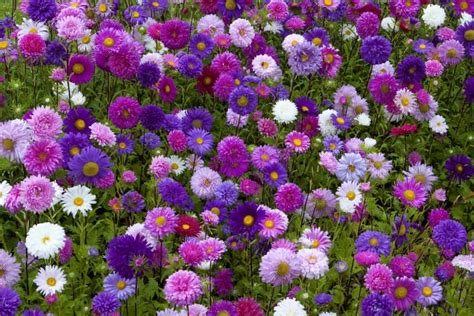 China Aster Lovetoknow