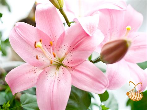 types flowers flower types lilies flowering plants the beauty of lilies
