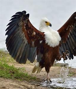 African fish eagle | Beautiful birds | Pinterest