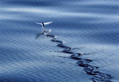Pesci Volanti Mediterraneo I Pesci Volanti