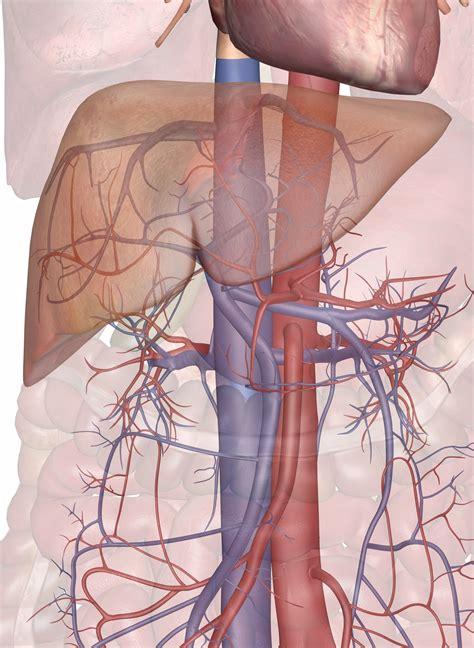 blood supply   liver  gallbladder
