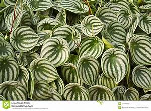Watermelon Peperomia Leaves Royalty Free Stock Images