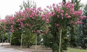 Taille Du Lilas Des Indes : lilas d 39 t lilas des indes lagerstroemia indica 39 rosea ~ Nature-et-papiers.com Idées de Décoration