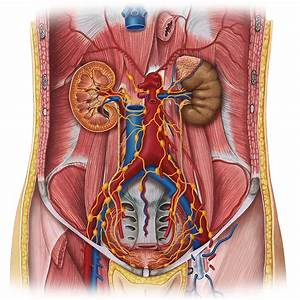 Lymphatics Of Abdomen And Pelvis