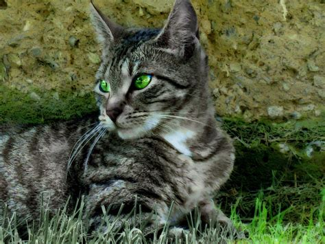 HD Cats Green Eyes Tabby Background Pictures Wallpaper ...
