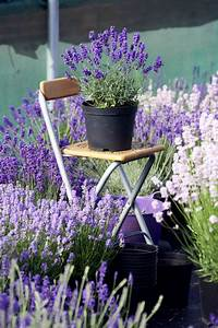 Lavendel Pflanzen Balkon : lavendel co duftpflanzen f r drau en trendblog ~ Lizthompson.info Haus und Dekorationen