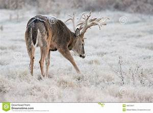 Huge Non-typical Whitetail Buck Starting To Make A Scrape ...