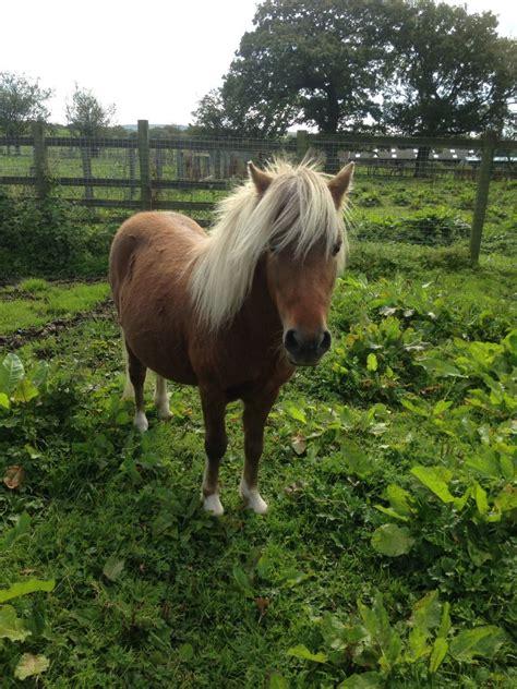 miniature horse american blackburn pets4homes horses lancashire ago years