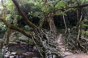 The Living Bridges | HowStuffWorks