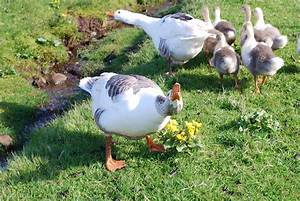 Faroese Goose
