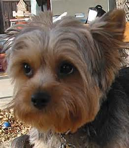 silky terrier dog breed information puppies pictures