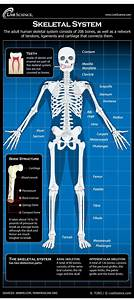 Infographic  All About Your Body U0026 39 S Skeleton  The Framework