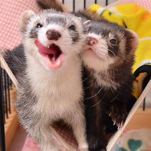 Two cute #ferrets! | Ferrets! | Pinterest