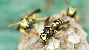 What U2019s The Greenest Way To Get Rid Of Hornets And Yellow