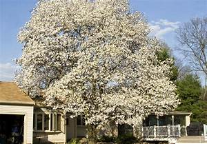 white magnolia tree | I drove by the front of this house a ...