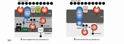 Polysaccharide Puls Loci Utilization Representation Schematic Gram