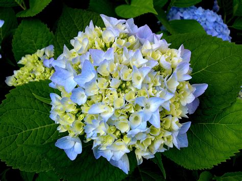 hydrangea pictures hydrangea budding time to paint and draw pinterest
