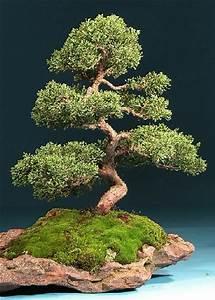 Chinesischer Wacholder Bonsai : tropica bonsai chinesischer wacholder 30 samen juniperus chinensis ebay ~ Sanjose-hotels-ca.com Haus und Dekorationen