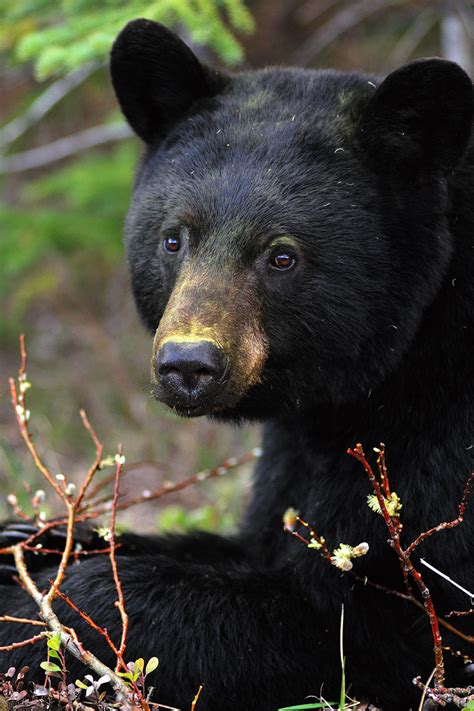 Hinterland Who's Who - Black Bear