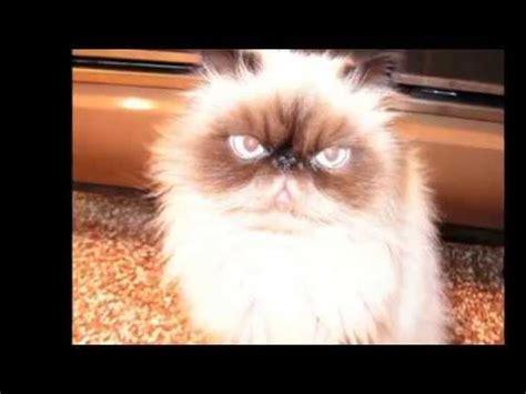 i gatti persiani gatti persiani