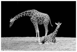 Schwarz Weiß Bilder Tiere : giraffe hals tier kostenloses foto auf pixabay ~ Markanthonyermac.com Haus und Dekorationen